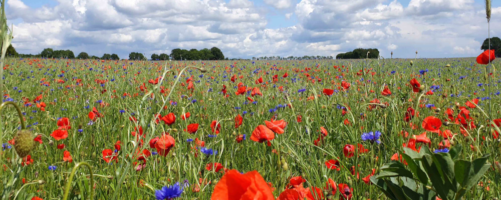 Champs coquelicots